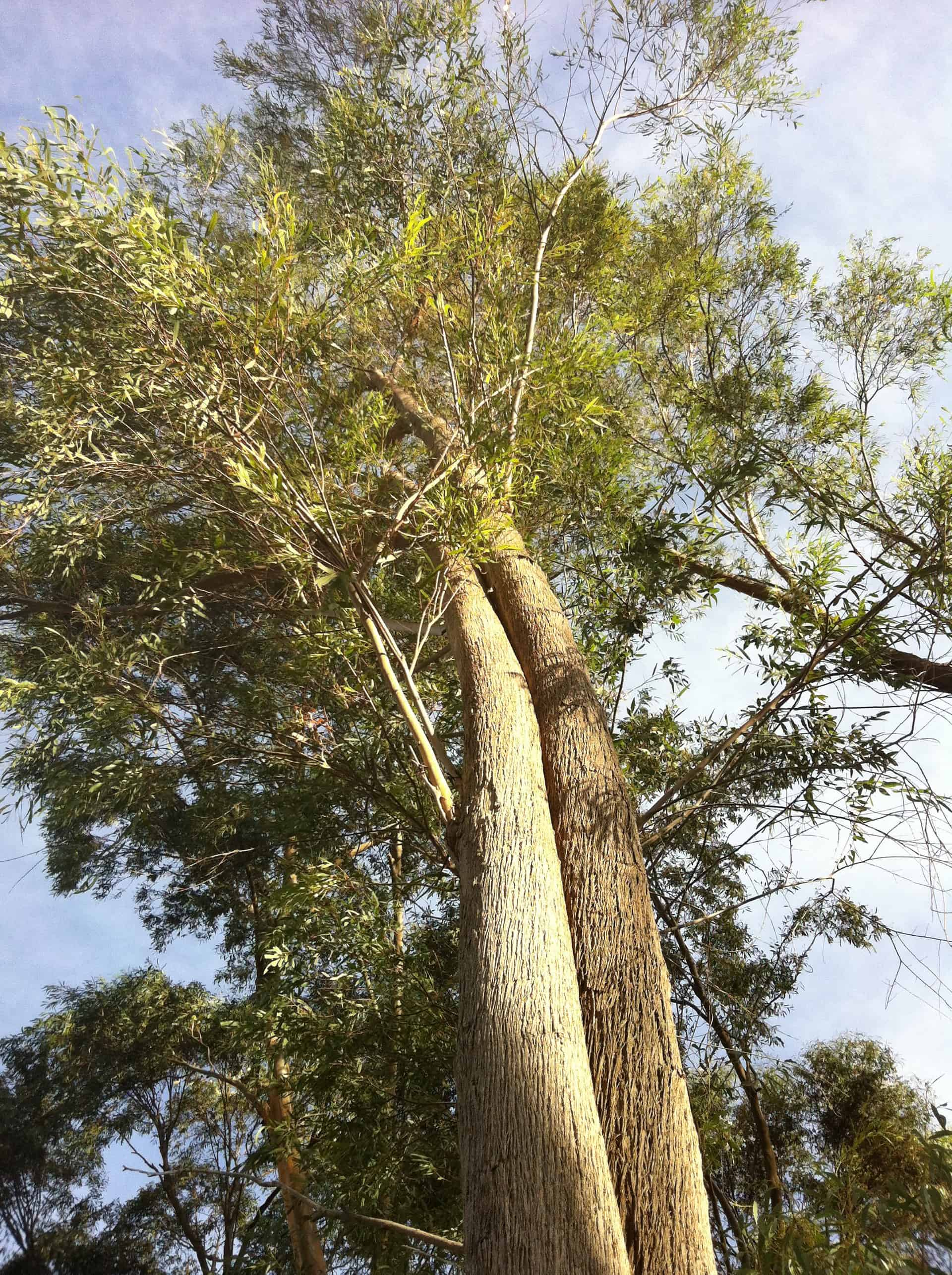 Euc-tree-1